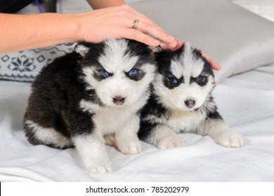 Newborn Puppy Images Stock Photos Vectors Shutterstock