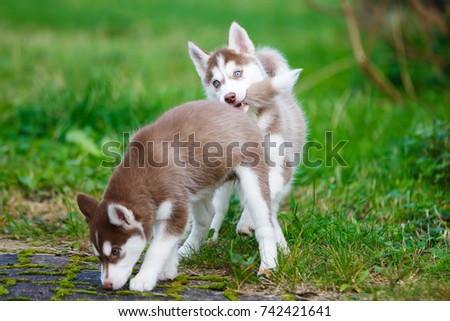 Little Husky Puppy Bites Another Puppy Stock Photo Edit Now