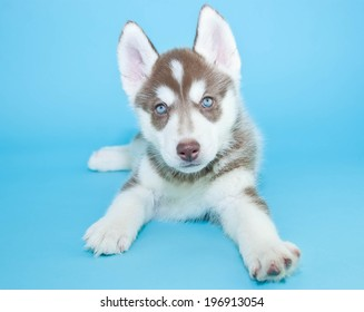 Little Husky puppy with blue eyes on a blue background.