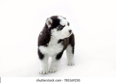 Little Husky puppy isolated. Cute baby dog with blue eyes. Pet - man's best friend.