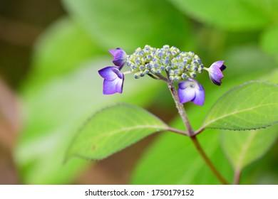 紫の花びらを散らす小さなアジサイ。
