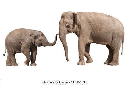 Little Indian elephant calf playing with his mother isolated on white
