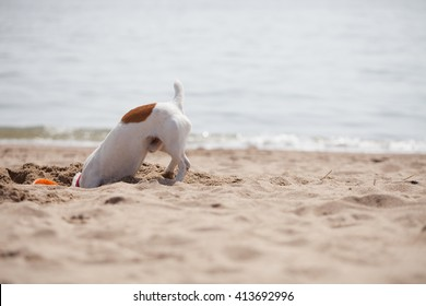 Little Jack Russell puppy playing with frisbee disc on beach digging sand.Cute small domestic dog digs a hole in sand at seaside in sunny day outdoor.