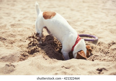 Little Jack Russell puppy playing on beach digging sand.Cute small domestic dog.Good friend for family.Friendly and playful doggy dig hole on the beach in summer day