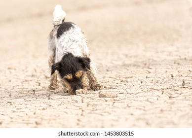 little Jack Russell Terrier dog is digging on sandy cracked ground.