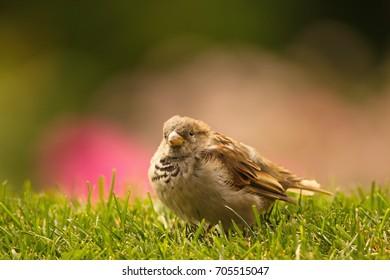 Little Jack, The Sparrow
