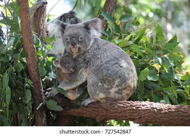 Little Joey and Koala mum