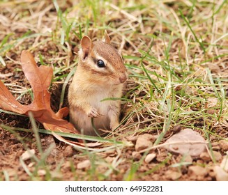little juvenile chipmunk pops out of his brand new burrow