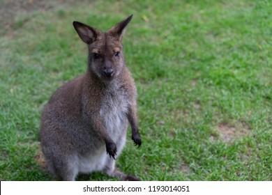 little Kangaroo small