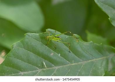 little katydid on the leaf