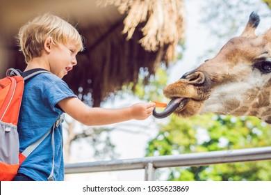 little kid boy watching and feeding giraffe in zoo. Happy kid having fun with animals safari park on warm summer day