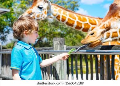 Little kid boy watching and feeding giraffe in zoo. Happy child having fun with animals safari park on warm summer day
