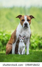Little kitten and dog together in summer. Friendship of American staffordshire terrier dog and cornish rex kitten.