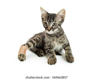 Little kitten with injured hind leg in ace bandage