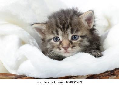 little kitten isolated on white background