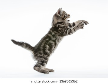 little kitten isolated on white studio shot jumping