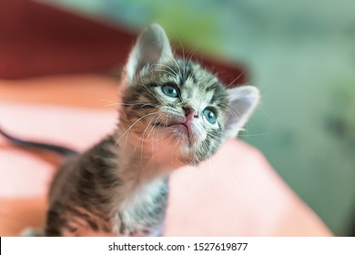 Little kitten is looking up. Striped gray kitten with blue eyes looks up enthusiastically.
