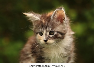 Little kitten Maine Coon brown sitting amongst autumn leaves