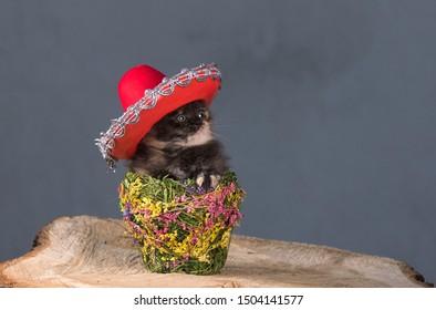 little kitten in mexican sombrero
