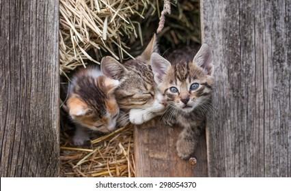 little kitten in the old barn