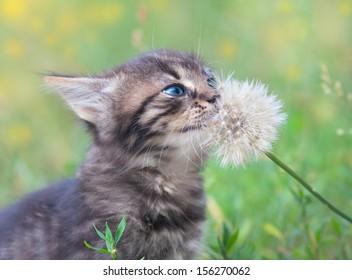 Little kitten shiffing dandelion with seeds