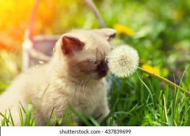 Little kitten sitting on the grass and sniffing  dandelion with seeds
