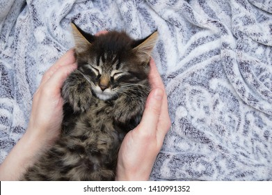 A little kitten is sleeping on a gray plaid in the hands of a Caucasian girl. View from above. Close-up.