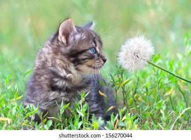 Little kitten sniffing dandelion