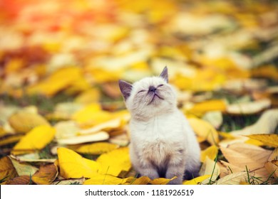 Little kitten walking outdoor on the fallen leaves in autumn