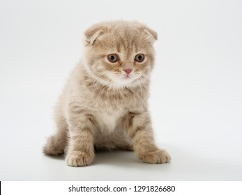 little kittens british fold on white background