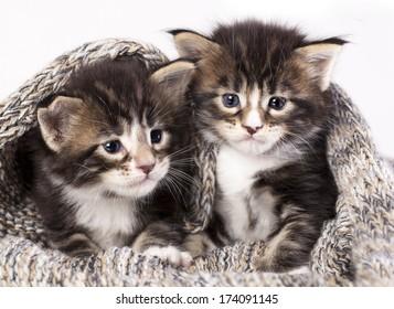 little kittens sitting in a knit scarf