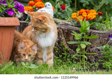 Little kitty with mother maine coon playing on the grass