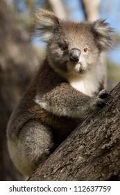 A little koala on a eucalyptus tree in Australia