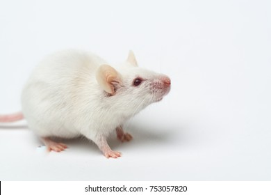 Little laboratory white mouse on white background, close-up