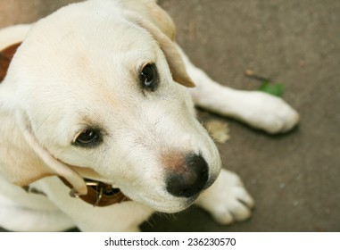 Little labrador puppy closeup.