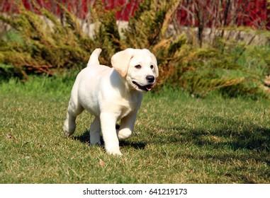 a little labrador puppy in the garden