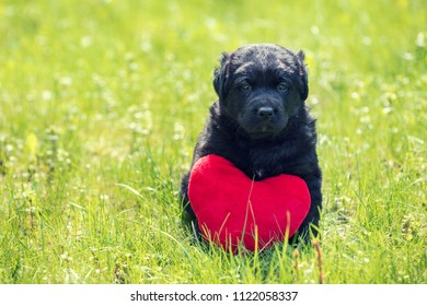 Little labrador retriever puppy with toy heart. Dog sitting outdoors on the grass in summer