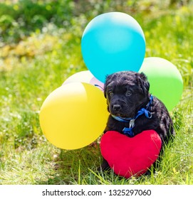 Little labrador retriever puppy with toy heart and colorful balloons. Dog sitting outdoors on the grass in summer