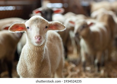 little lamb looks out of the flock of sheep in the stable