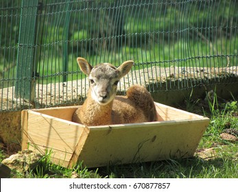 a little lamb in the wooden bath
