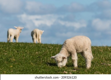 little lambs grazing on fresh meadow. grazing lamb. lambs grazing on meadow. lambs on meadow. grazing lamb with clouds in background.