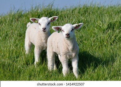 Little lambs out in the spring