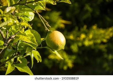 A little lemon on its tree
