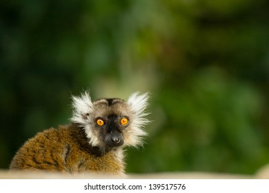 Little Lemur showing its great orange eyes like if it was scared of something, Miami, Florida, USA