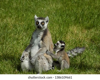 A little lemur who is with his mom