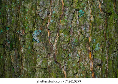 A little of lichen on a mossy bark of a tree texture. Close-up macro shot.