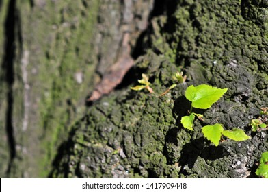 Little linden leaf (Tilia cordata, small-leaved lime, occasionally littleleaf linden or small-leaved linden)  starting to grow from giant tree trunk.