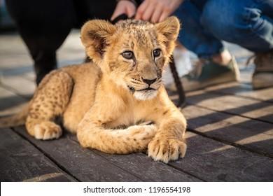 little lion cub lies resting
