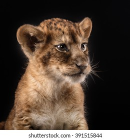 little lion cub in Studio on black background
