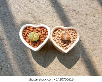 Little lithops planting in heart shaped pots